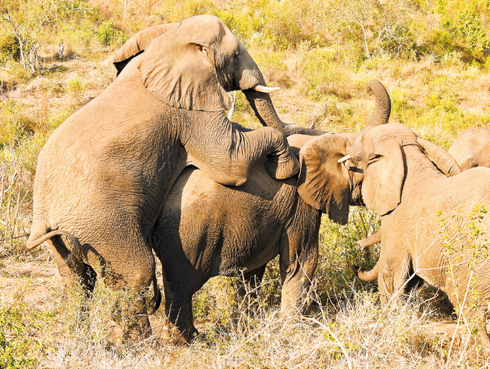 פילים באמצע האקט. צילום: shuterstock