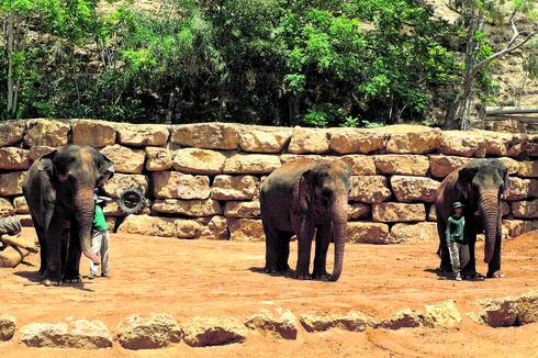הפילות של גן החיות. אולטימטום קצר. צילום: שלומי כהן