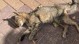 אחד החתולים שהורעל. צילום: ברוך בן הרוש